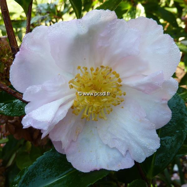 Camellia sasanqua \'Anshar\'
