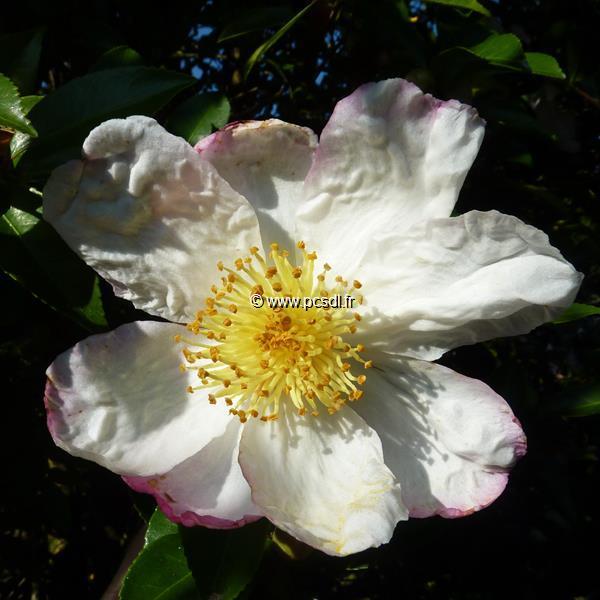 Camellia sasanqua \'Narumi-gata\' C20L 125/150