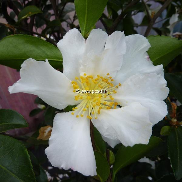 Camellia sasanqua \'Kenkyo\'