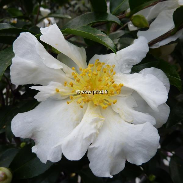 Camellia sasanqua \'Setsugekka\'