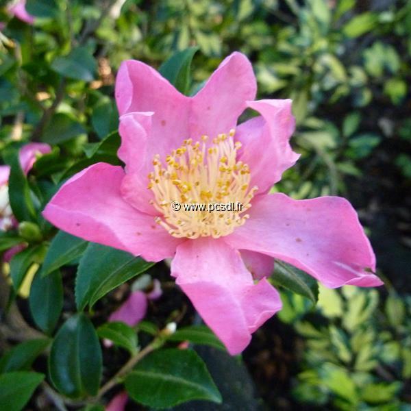 Camellia sasanqua \'Tanya\'