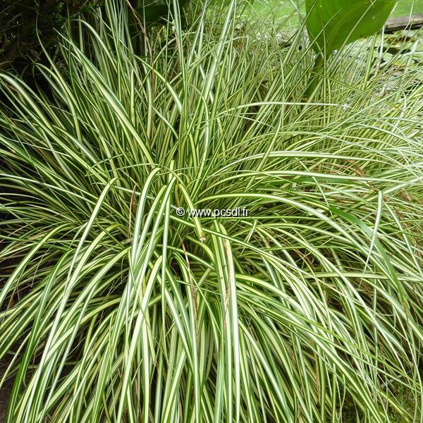 Carex oshimensis \'Evergold\' C3L