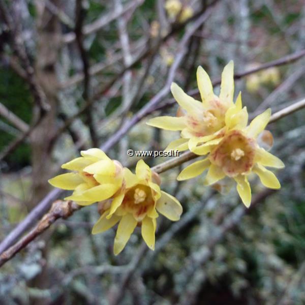 Chimonanthus praecox 40/60 C4L