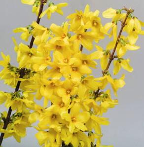 Forsythia x intermedia \'Goldrausch\' 30/40 C4L