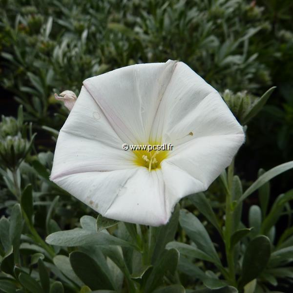 Convolvulus cneorum C3L 30/40