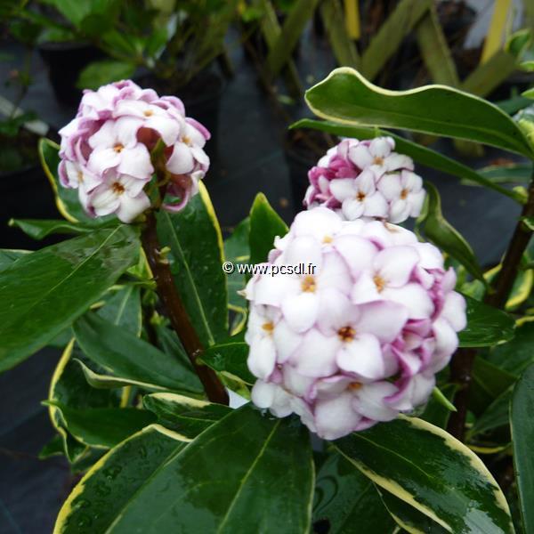 Daphne odora \'Aureomarginata\' C3L 40/50