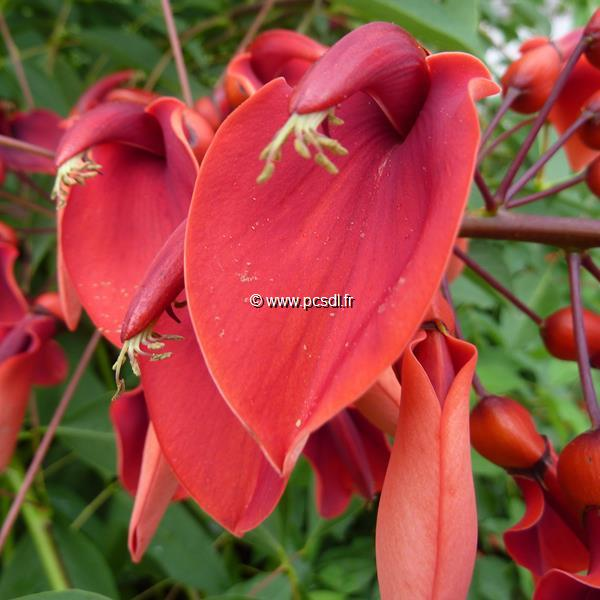 Erythrina crista-galli \'Compacta\' C4L