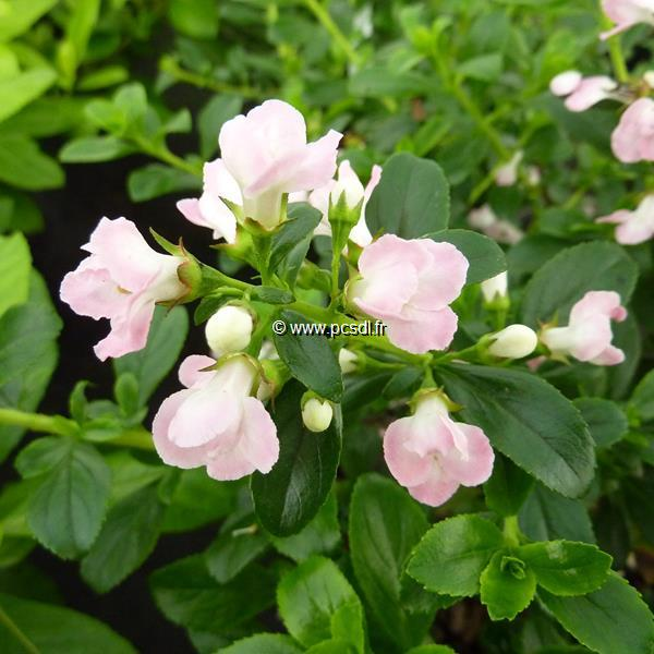 Escallonia \'Apple Blossom\' C4L 40/60