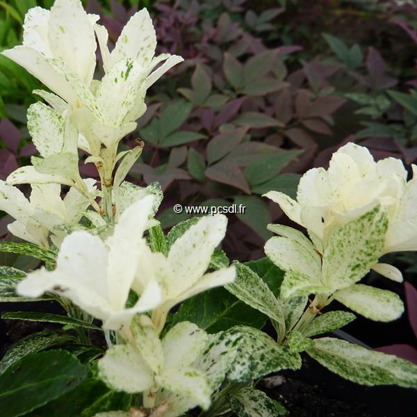 Euonymus fortunei \'Pierrolino\' ® C4L 30/40