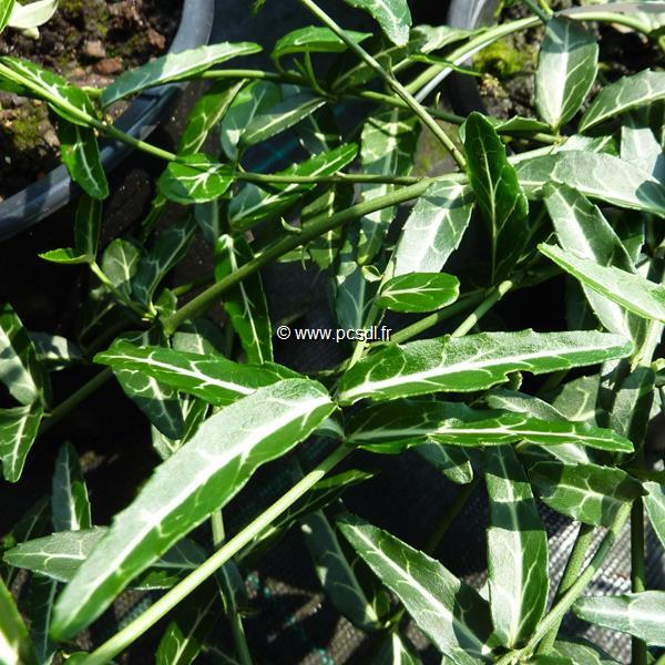 Euonymus fortunei \'Wolong Ghost\' C4L 30/40