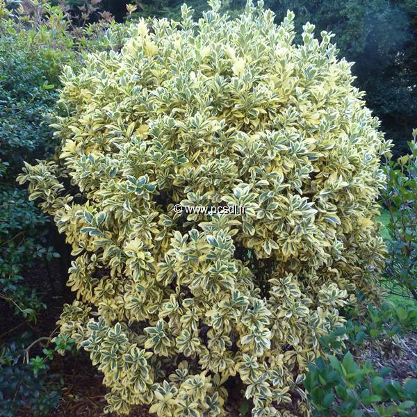 Euonymus japonicus \'Bravo\' C15L 80/100