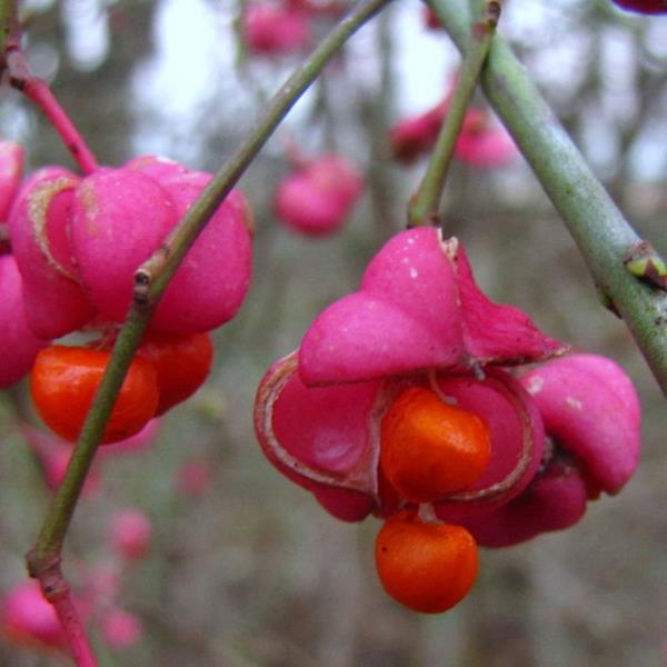 Euonymus planipes C4L 30/40