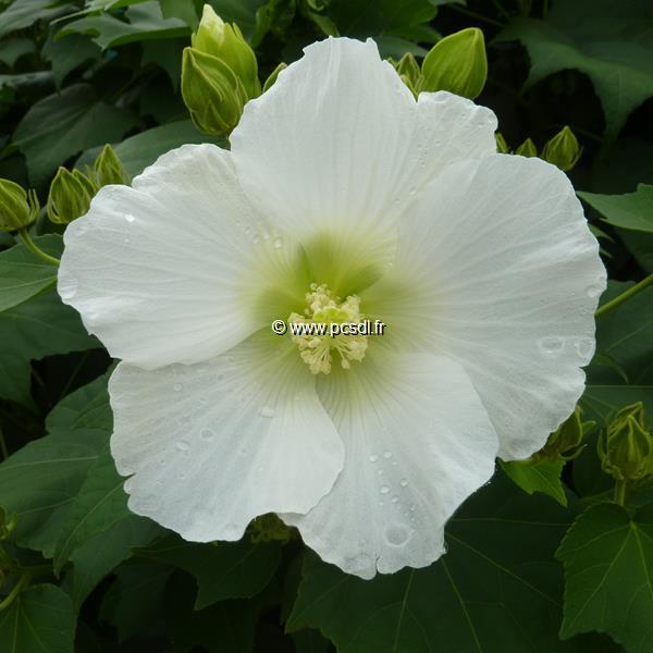 Hibiscus mutabilis \'Alba\' C4L 40/60