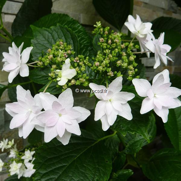 Hydrangea macrophylla \'Hanabi\' 20/40 C4L