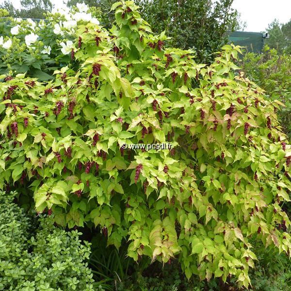 Leycesteria formosa \'Aurea\' C4L 40/60