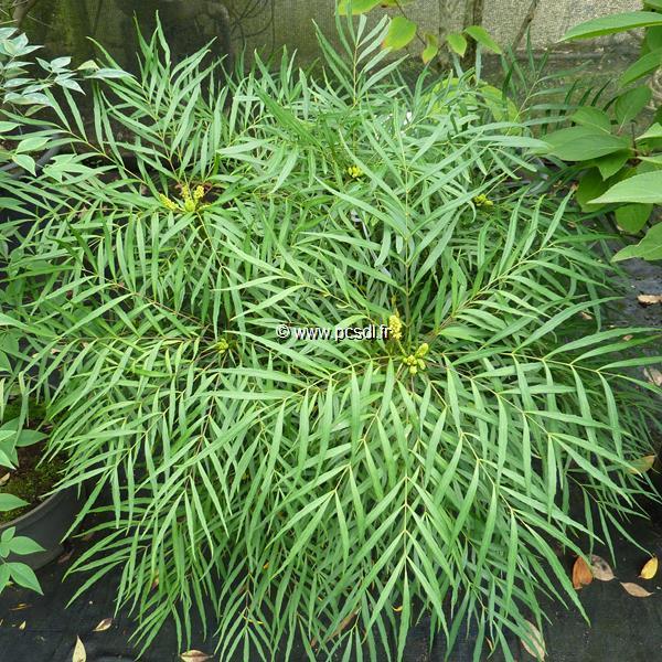 Mahonia eurybracteata \'Soft Caress\' ® 30/40 C4L