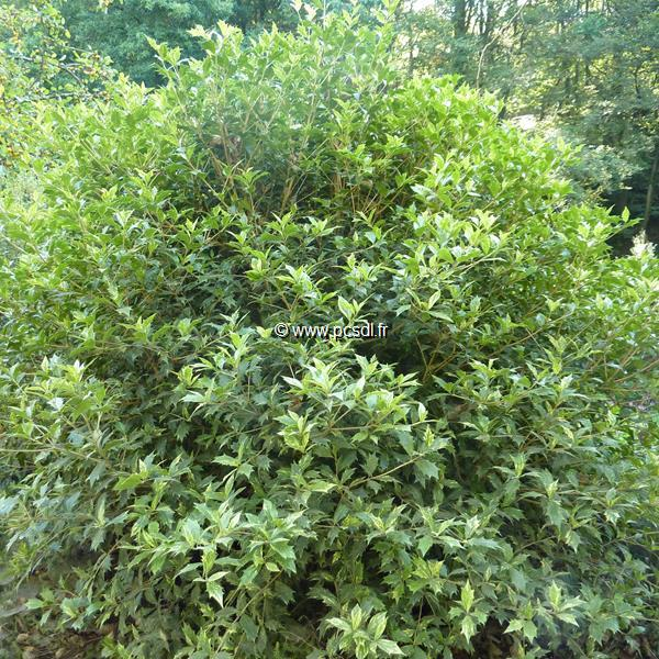 Osmanthus heterophyllus \'Goshiki\' C10L 80/100
