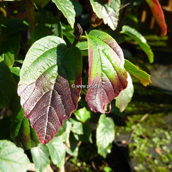 Parrotia persica \'Persian Spire\' ® C5L 60/80