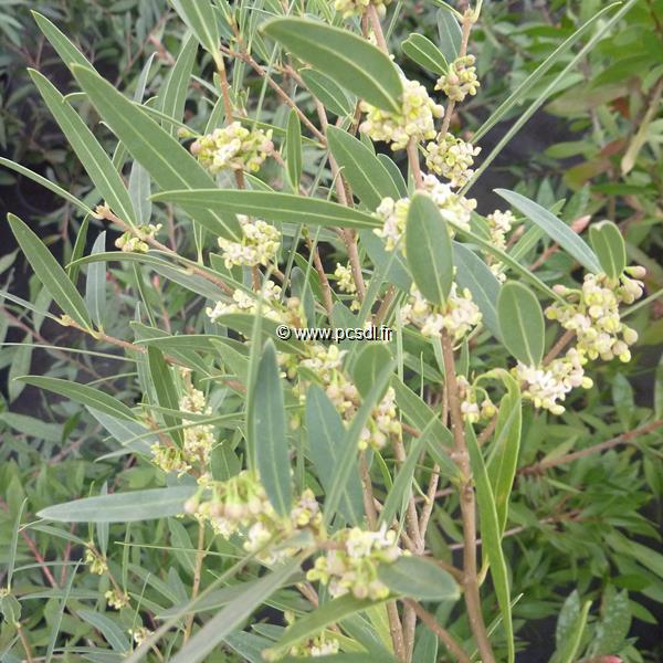 phillyrea angustifolia 39 rosmarinifolia 39 c4l 40 50 tous les arbustes p pini res c te sud des. Black Bedroom Furniture Sets. Home Design Ideas