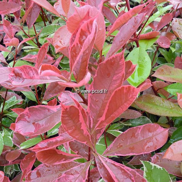 Photinia x fraseri \'Pink Marble\' ® C50L 150/175