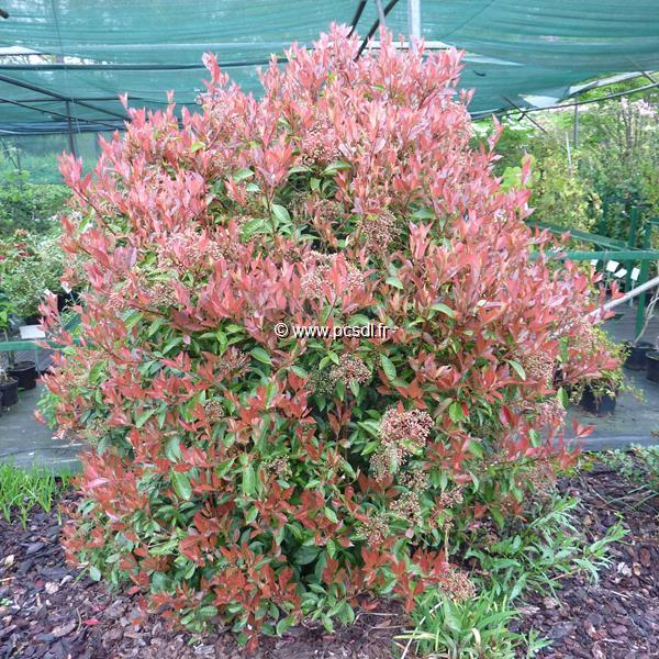 Photinia glabra \'Rubens\' C15L 60/80
