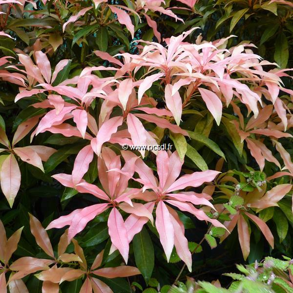 Pieris \'Bert Chandler\' C4L 40/50