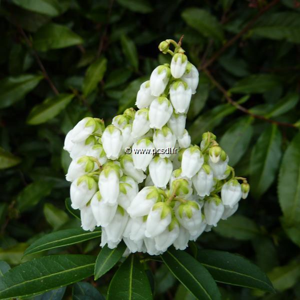 Pieris japonica \'Débutante\' C4L 30/40