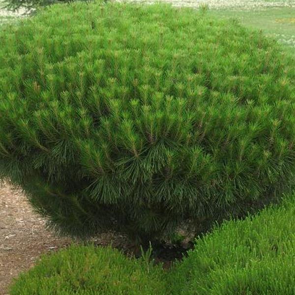 Pinus densiflora \'Alice Verkade\' C4L 20/30