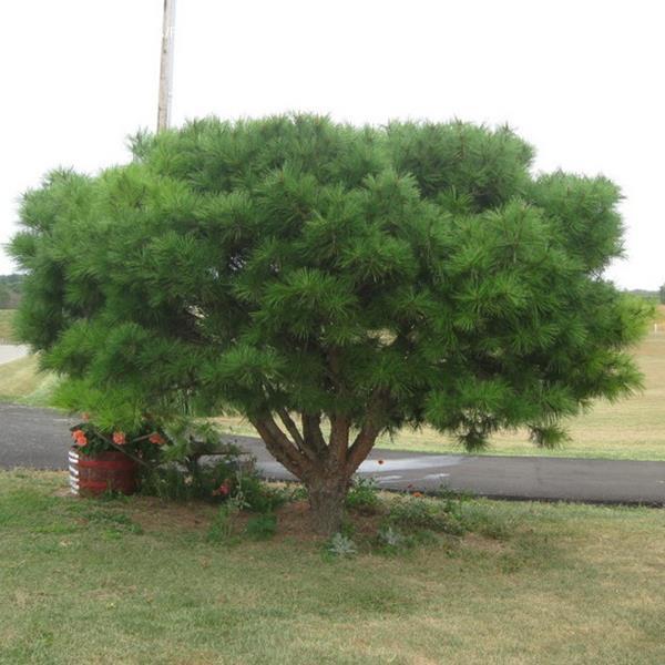 Pinus densiflora \'Umbraculifera\'