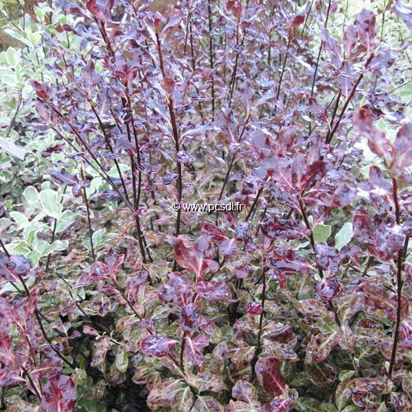 Pittosporum tenuifolium \'Purpureum\' C4L 40/60