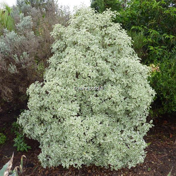 Pittosporum tenuifolium \'Variegatum\' C4L 40/50