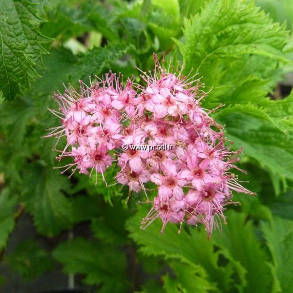 Spiraea japonica \'Crispa\' C4L 30/40