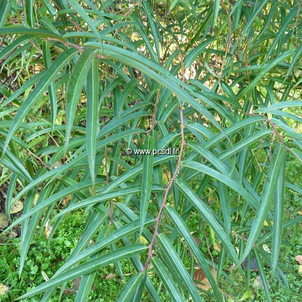Stachyurus salicifolius C4L 40/60