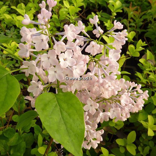 Syringa x hyacinthiflora \'Maiden\'s Blush\' 40/50 C3,5L