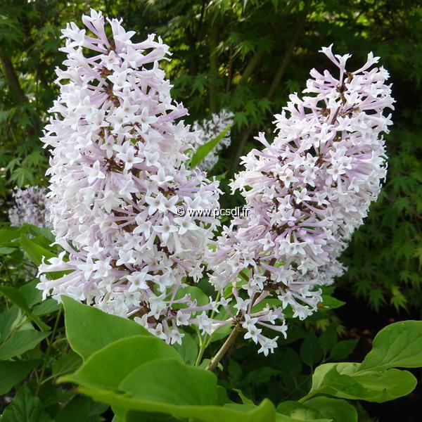Syringa pubescens ssp. patula \'Miss Kim\' C4L 30/40