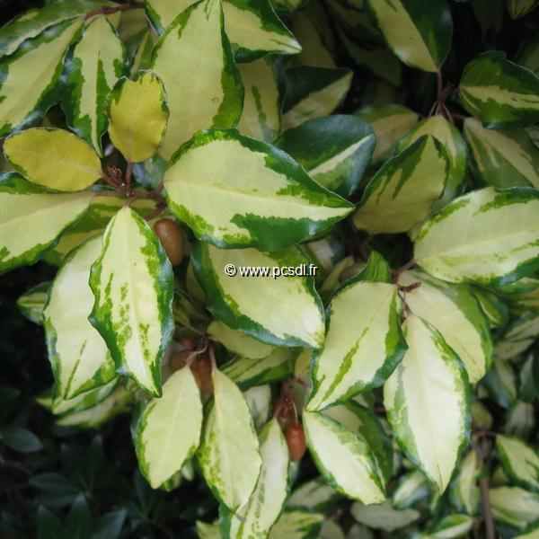 Elaeagnus ebbingei Gold Splash (2)