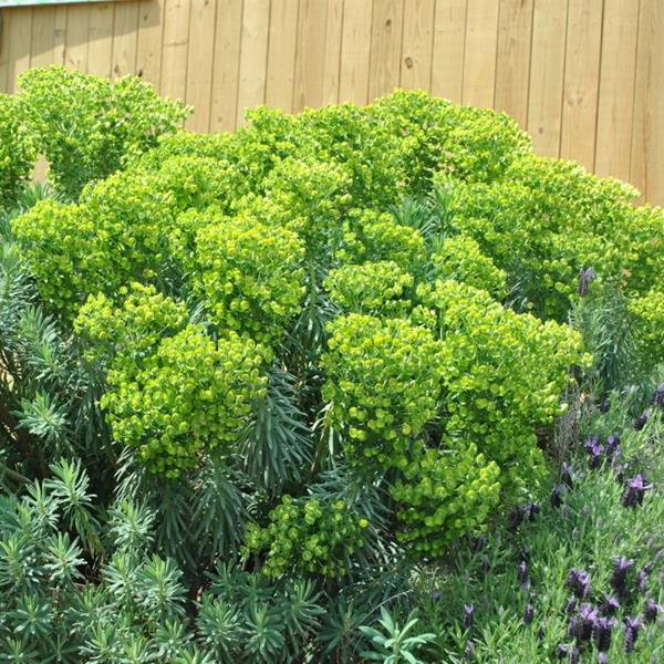 Euphorbia characias ssp. wulfenii \'Shorty\' C3L 20/30