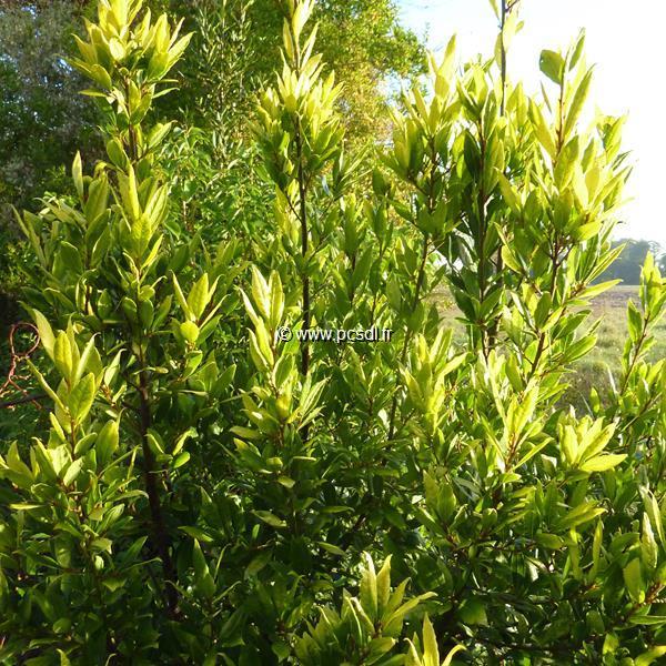 Laurus nobilis \'Aurea\' 40/60 C4L