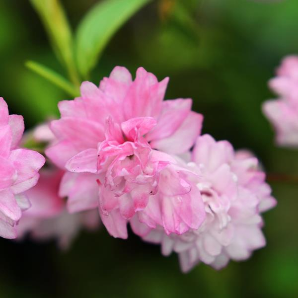 Prunus glandulosa \'Sinensis\' 40/50 C3L