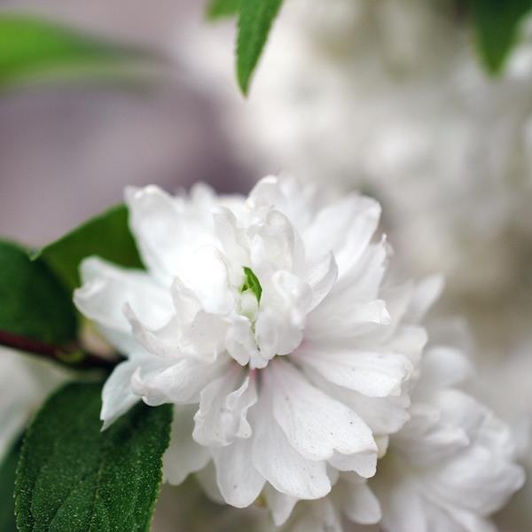 Prunus glandulosa \'Alba Plena\' C3L 40/50