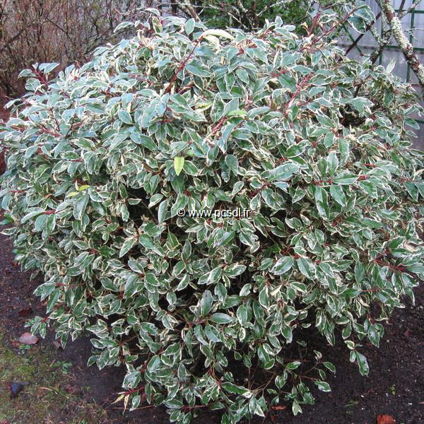 Prunus lusitanica \'Variegata\' C4L 40/60