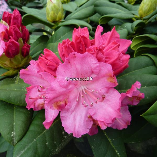 Rhododendron x \'Germania\' C5L 40/50