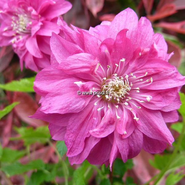 Rubus spectabilis \'Olympic Double\' C4L 40/50