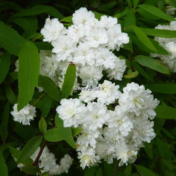 Spiraea cantoniensis \'Flore Pleno\' C4L 40/60