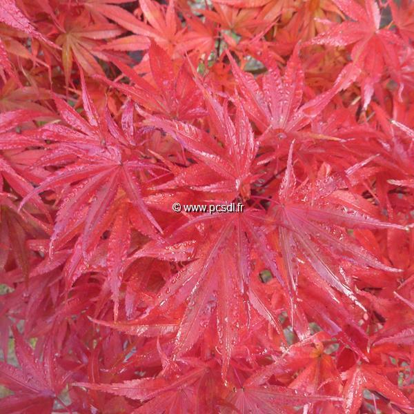 Acer palmatum \'Aratama\' 40/50 C4L