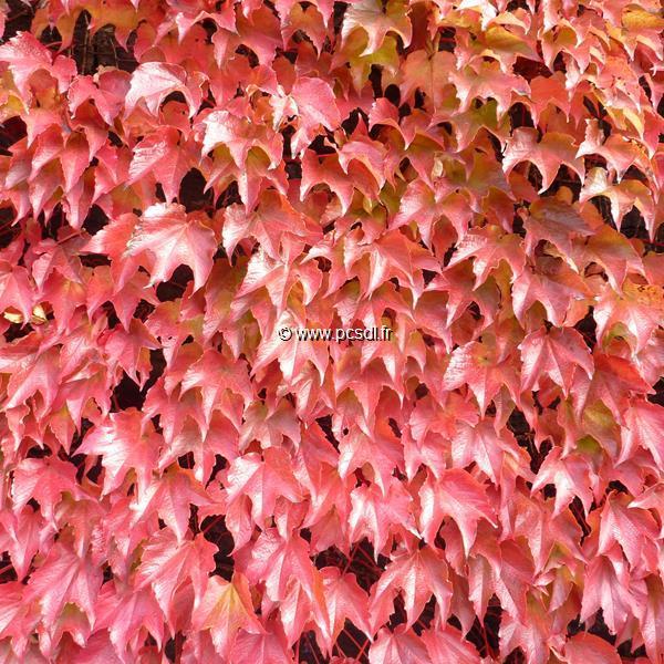 Parthenocissus tricuspidata \'Robusta\' C4L 40/50
