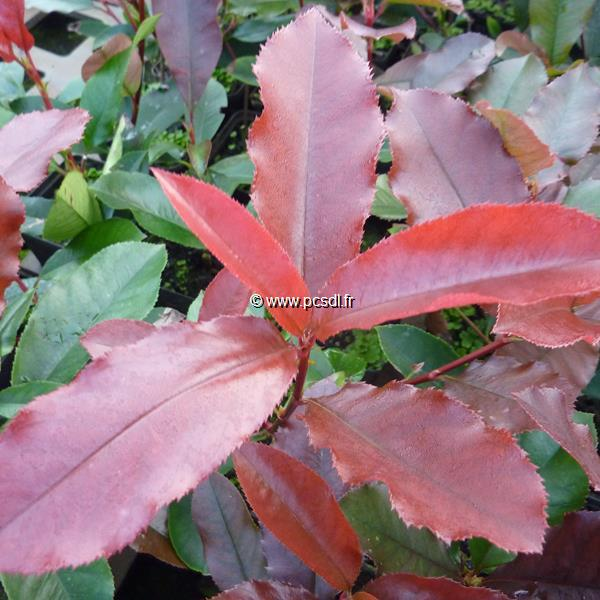 Photinia x fraseri \'Red Select\' C4L 60/80