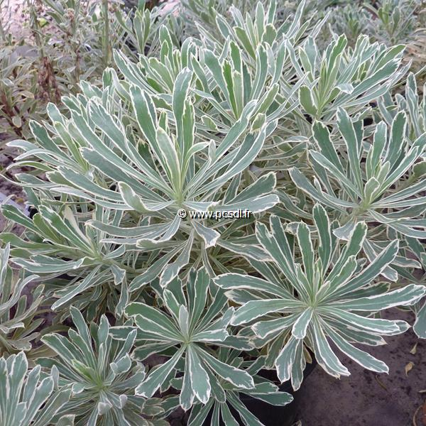 Euphorbia characias ssp. characias \'Burrow Silver\' C3L 20/30