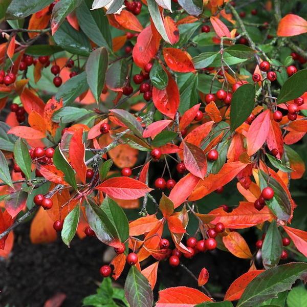 Aronia x prunifolia \'Brilliant\' C4L 125/150