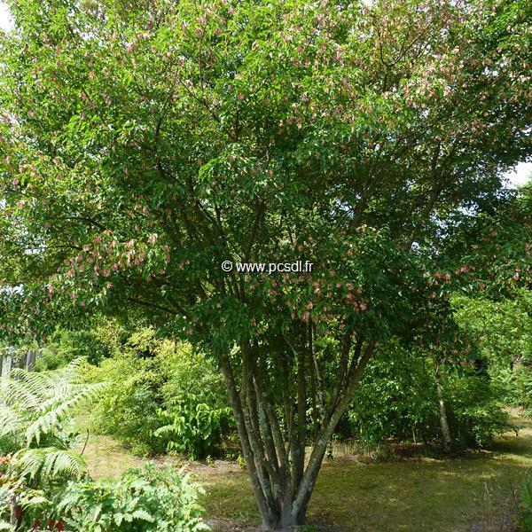 Acer tataricum ssp. ginnala \'Bailey Compact\' ® C4L 80/100